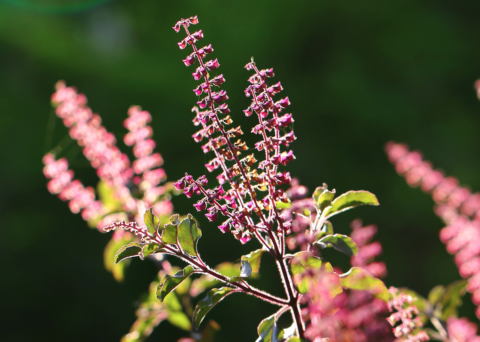 "10 Health Benefits Of Tulsi [""Holy Basil""] – The Holiest Of All Plants!!"